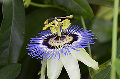 Supplementing with Passionflower
